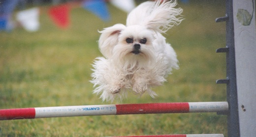 Dewey the agility dog going over a jump