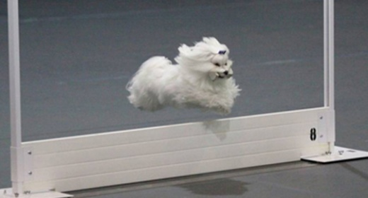Obedience dog jumping