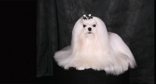 Conformation show dog